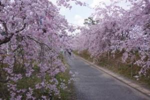 たけべの森枝垂桜
