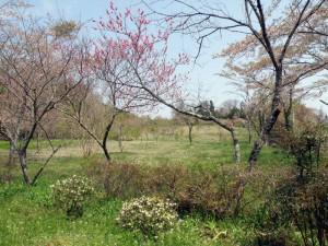 久保井野キャンプ場 桜の広場